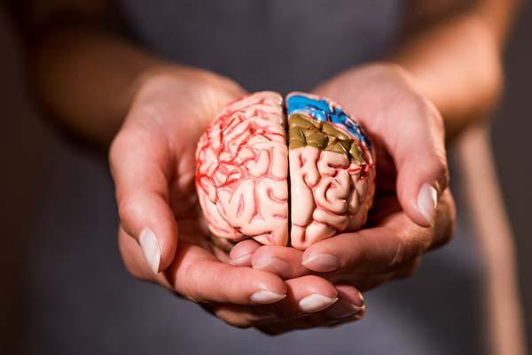 Model of a brain being held in open palms